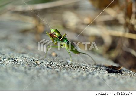 蟷螂 玉虫を捕食 24815277