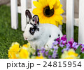 Black and white rabbit on grass near the fence 24815954