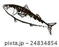 鯖 青魚 魚のイラスト 24834854