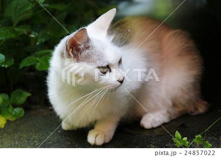 しゃがむ白い猫の写真素材 [24857022] - PIXTA