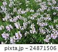 ハナトラノオは見た目によらず有毒。花言葉は「再び幸せが訪れる」。欧州では5月の花として愛されている 24871506