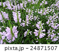 ハナトラノオは見た目によらず有毒。花言葉は「再び幸せが訪れる」。欧州では5月の花として愛されている 24871507