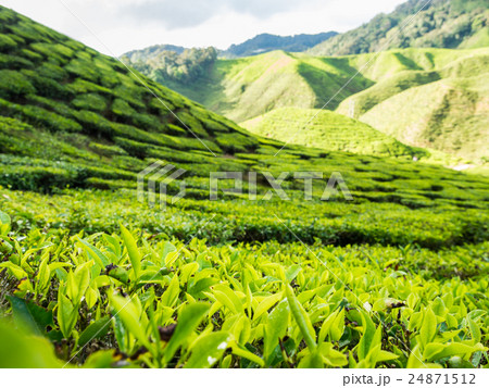 Tea plantation in the Cameron highlands 24871512