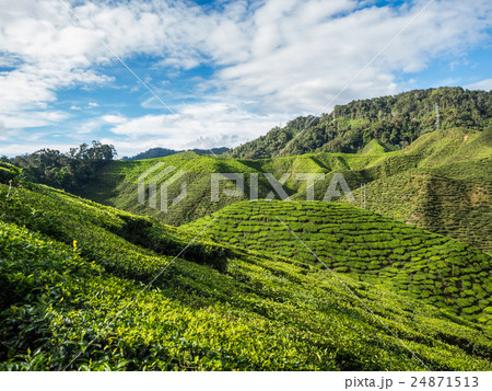 Tea plantation in the Cameron highlands 24871513