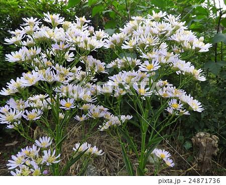 シオンの花言葉の「あなたを忘れない」は強いメッセージ性があり、恋人にも友人にも贈ることができる。 24871736
