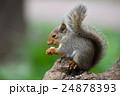 【動物】ニホンリス(10) 24878393