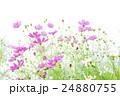 植物 花 コスモスの写真 24880755