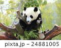 和歌山アドベンチャーワールドのパンダ 24881005