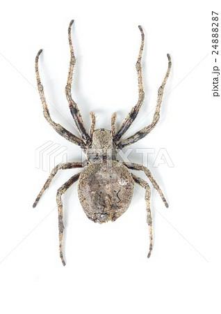 オニグモ (鬼蜘蛛)の写真素材 [24888287] - PIXTA