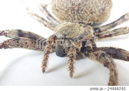 オニグモ (鬼蜘蛛) 頭部俯瞰拡大の写真素材 [24888292] - PIXTA