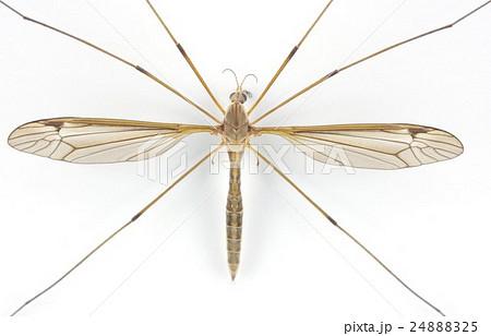 ガガンボ 大型の蚊に似た昆虫 表面拡大横 24888325