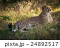 動物 チータ チーターの写真 24892517