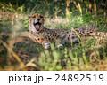 動物 チータ チーターの写真 24892519