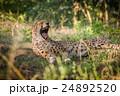 動物 チータ チーターの写真 24892520