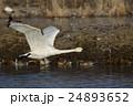 白鳥 24893652