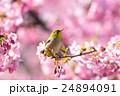 メジロと桜 24894091