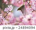メジロと桜 24894094