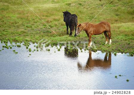 阿蘇草千里に放牧されいている馬 24902828