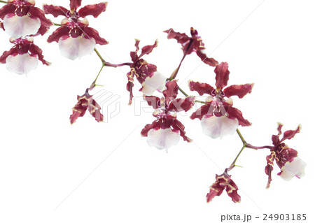 Orchid flower red color isolated on white backgroundの写真素材 [24903185] - PIXTA
