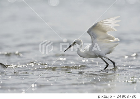 逃げる魚と追うコサギ 24903730