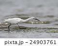 コサギ 鷺 野鳥の写真 24903761