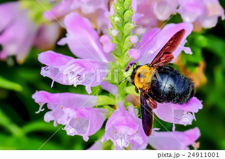 ハナトラノオの花と熊蜂 24911001
