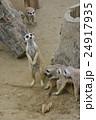 ミーアキャット 動物 動物園の写真 24917935