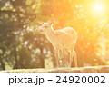 Nara deer 24920002