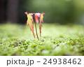 芽吹き 苔 芽の写真 24938462