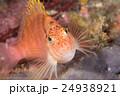 オキゴンベ 24938921