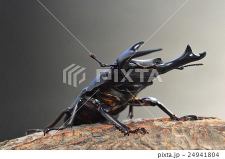 国産オオクワガタの樹木の上で 黒バックの写真素材 [24941804] - PIXTA