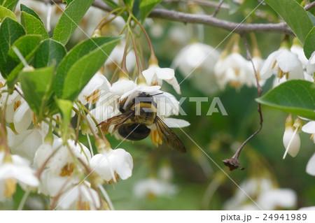 エゴの花の蜜を吸うクマバチ 24941989