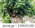 Spotted owlet 24943100