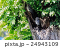 Spotted owlet 24943109