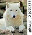 動物 おおかみ オオカミの写真 24950235