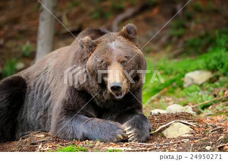 Brown bear (Ursus arctos) in nature 24950271
