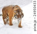 動物 タイガー トラの写真 24950433