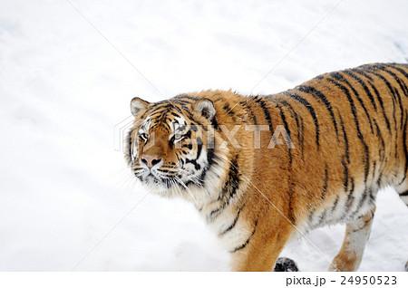 Beautiful wild siberian tiger on snowの写真素材 [24950523] - PIXTA