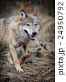 おおかみ オオカミ 狼の写真 24950792