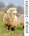 Sheep 24950854