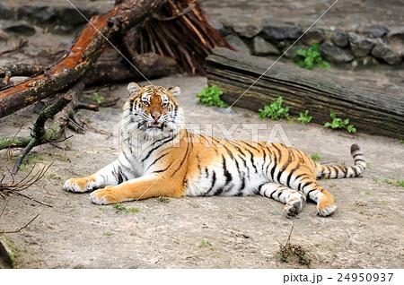 Tigerの写真素材 [24950937] - PIXTA