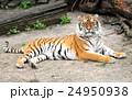 動物 ねこ タイガーの写真 24950938