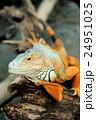イグアナ ハ虫類 動物の写真 24951025