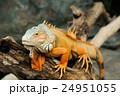 イグアナ ハ虫類 動物の写真 24951055