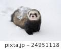 Polecat 24951118