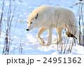 おおかみ オオカミ 狼の写真 24951362