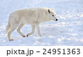 おおかみ オオカミ 狼の写真 24951363