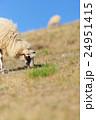 動物 羊 ひつじの写真 24951415
