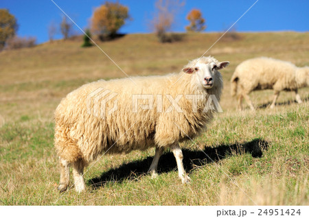 Sheep on a field 24951424