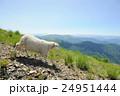 ひつじ ヒツジ 羊の写真 24951444